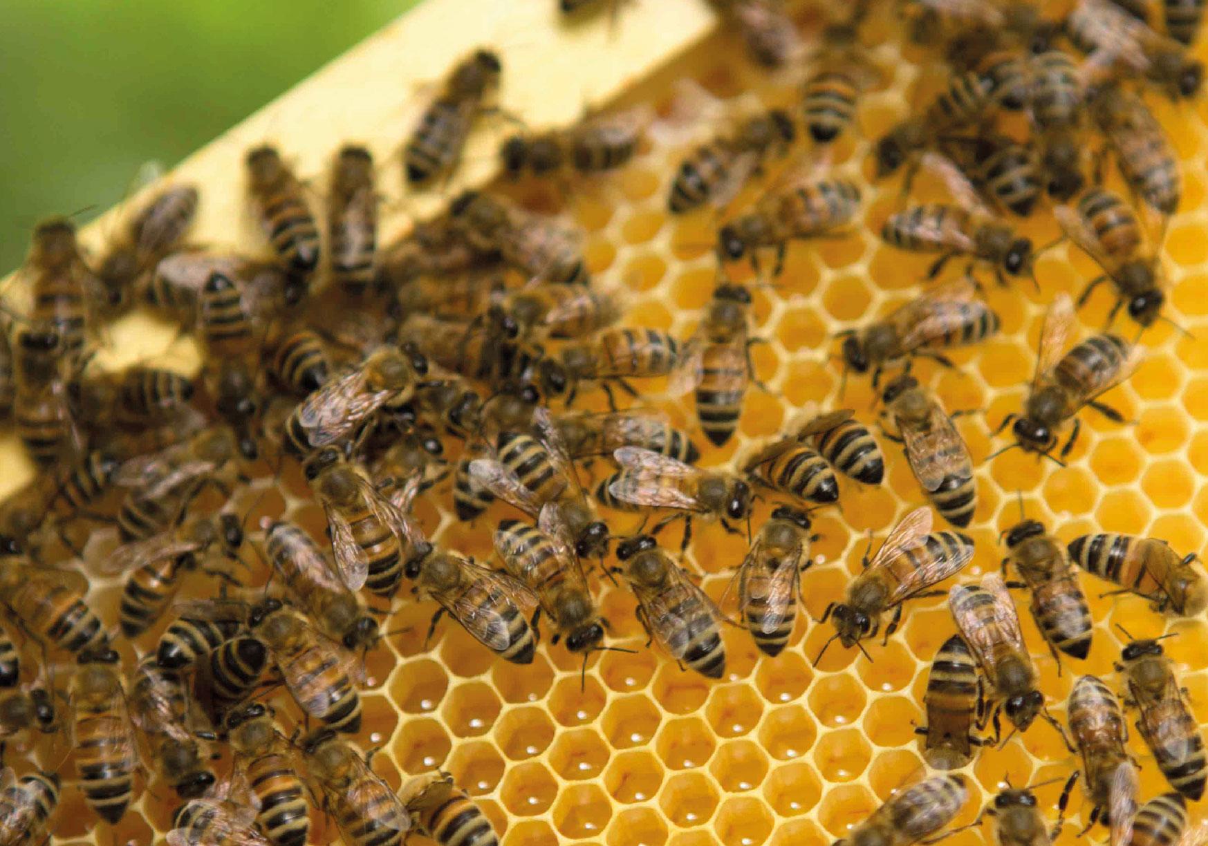 """""""Il mio non sol ma l'altrui ben procuro"""" – L'affascinante mondo delle api"""